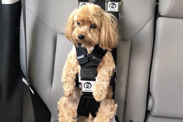 【ビデオ】愛犬をしっかり固定でき、見た目も可愛いペット用シートベルト