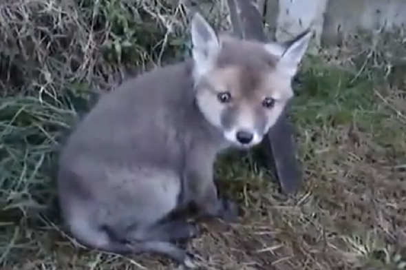 Man saves baby fox with head stuck in tin can