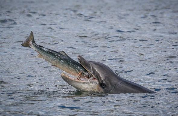 Unlucky salmon leaps into lucky dolphin's mouth