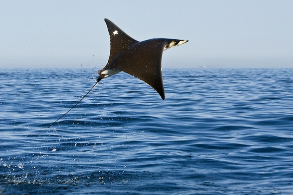 Flying mobula rays pictured in Mexico
