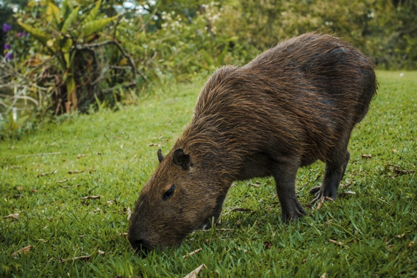 capybara-spotted-on-essex-golf-course