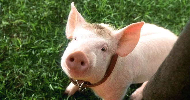 Image result for babe pig