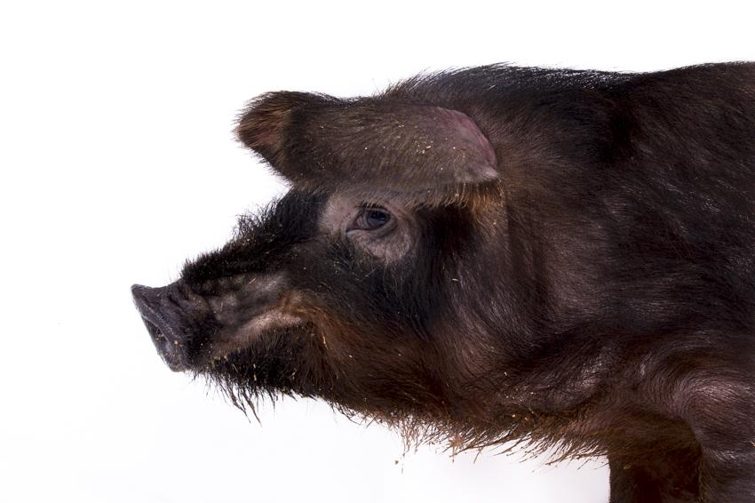 MAIALE MORA ROMAGNOLA: la Mora Romagnola è una razza suina autoctona che sta rischiando di scomparire....