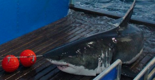 Huge 16ft great white shark spotted off coast of new york aol huge 16ft great white shark spotted off coast of new york publicscrutiny Gallery