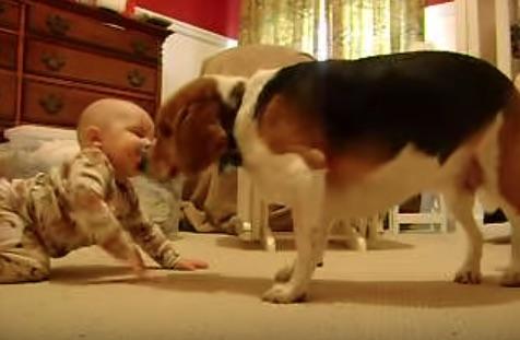 初めて赤ちゃんに会ったビーグル犬の反応に感動の声が巻き起こっている。