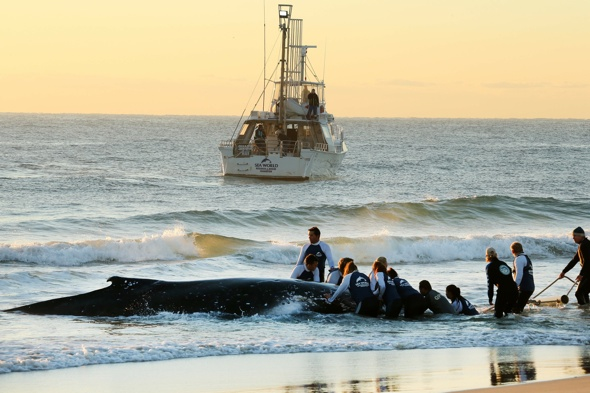 Baby humpback whale rescued from Palm Beach in Australia's Gold Coast