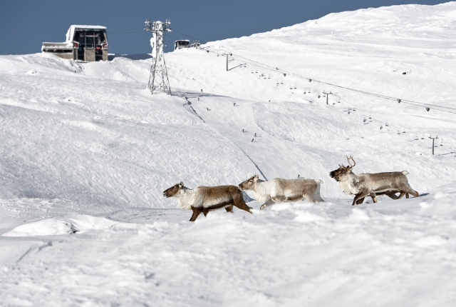 reindeer on ski slopes in sweden, scandinavia
