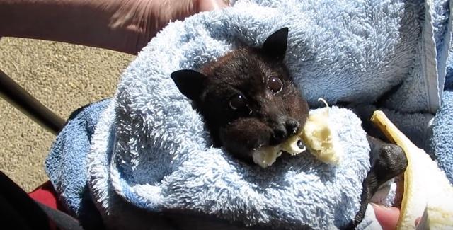 Bat bites off more banana than it can chew