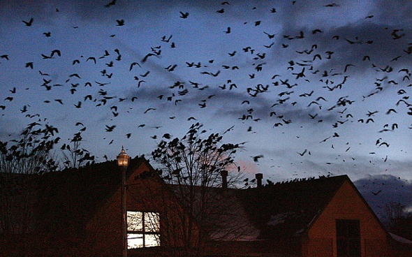 50,000 crows invade US town