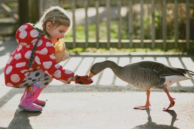 girl feeding goose