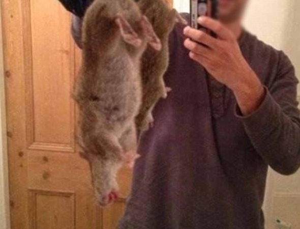Super rats immune to poison spreading across UK at alarming rate