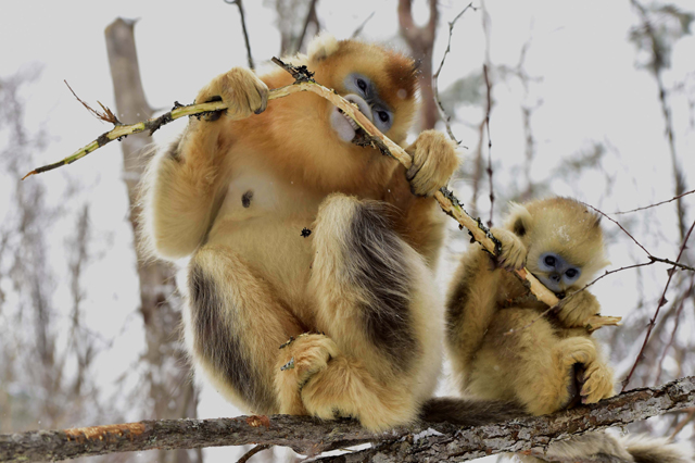Mandatory Credit: Photo by Xinhua/REX/Shutterstock (5540469j) Golden monkeys at Dalongtan Golden monkeys Research Center in Shennongjia, central China's Hubei Province Dalongtan Golden monkeys Research Center, Shennongjia, China - 13 Jan 2016 The Shennongjia Nature Reserve is home to the rare Golden monkeys, which is on the verge of extinction and was first spotted in Shennongjia in the 1960s. The amount of Golden monkeys in Shennongjia right now has doubled since the 1980s because of better environmental protection