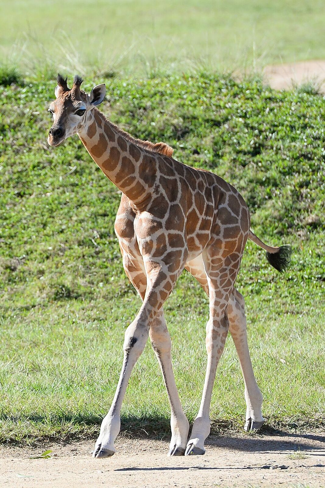 Watch: Giraffe's Epic Journey Across Australia All In The Name Of