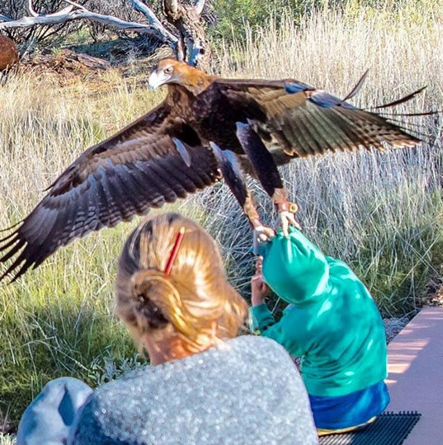 eagle attacks boy in Alice Springs