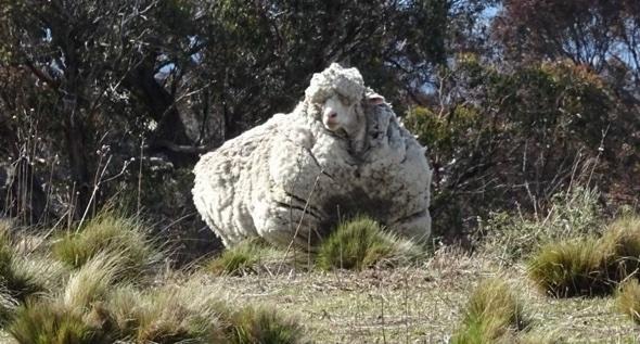 Shearing champion removes sheep's world record 40kg fleece