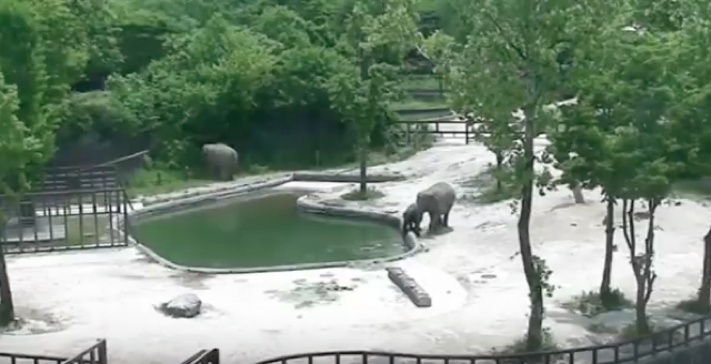 Elephants rescue baby that falls into zoo pool