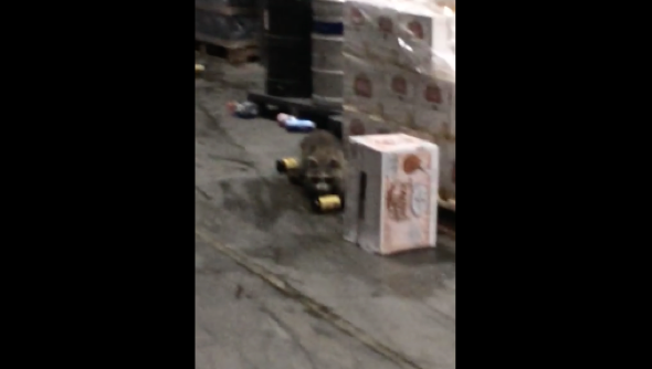 Raccoon breaks into alcohol warehouse and gets drunk (video)
