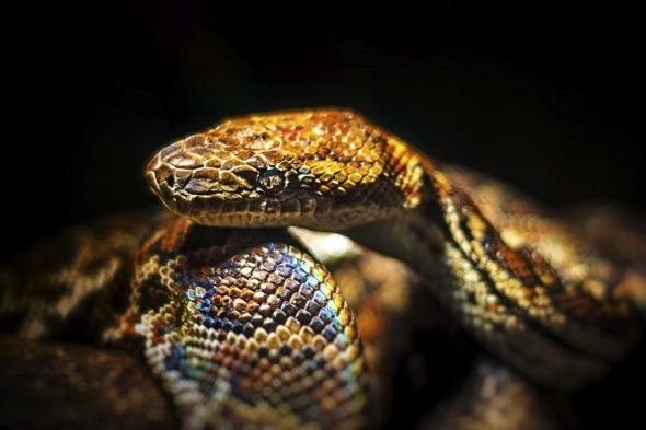 Two boa constrictor snakes on loose in French town