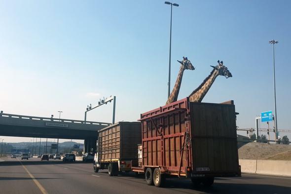 Giraffe dies after hitting head on bridge in South Africa