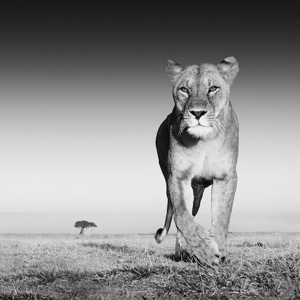 lioness attracted by old spice aftershave