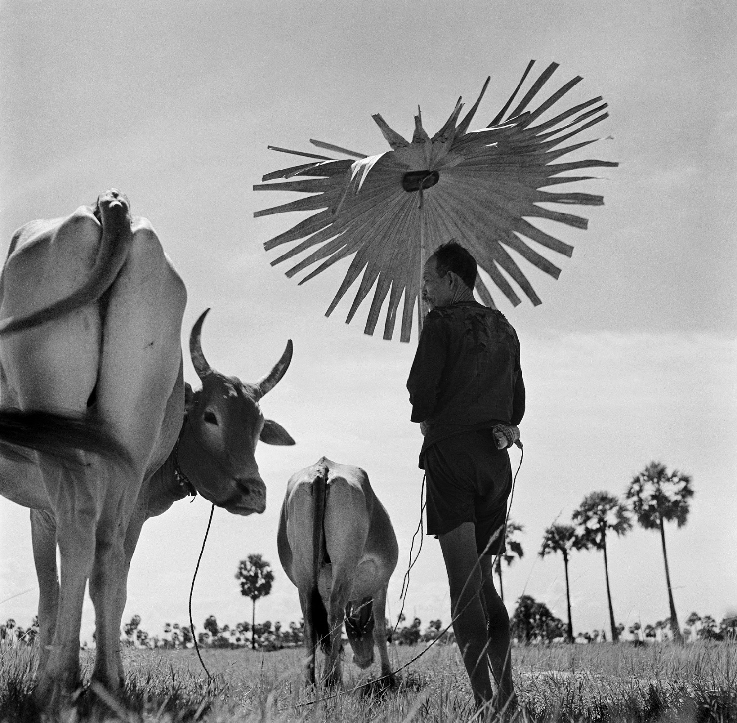 CAMBODIA. Farmer shading himself as he looks after his grazing cows.