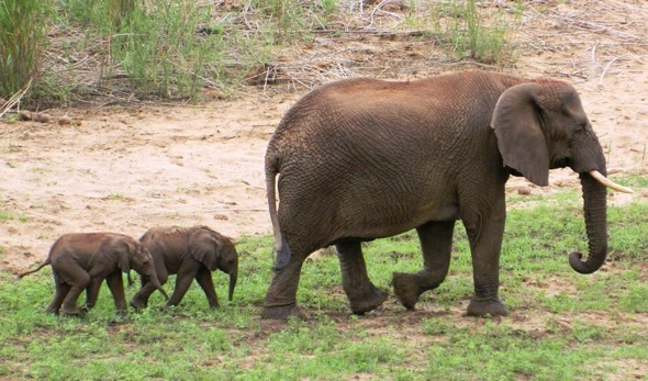 incredibly rare and cute baby elephant twins born in south africa