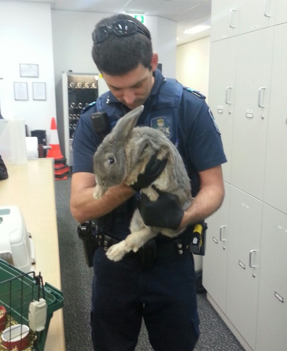 Rabbit seized in Australia after owners pretend it's a guinea pig