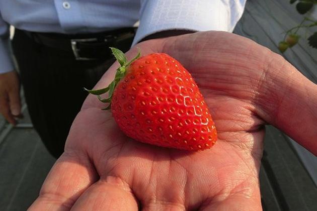 トヨタの技術で一年中美味しいイチゴが食べられるようになる!?
