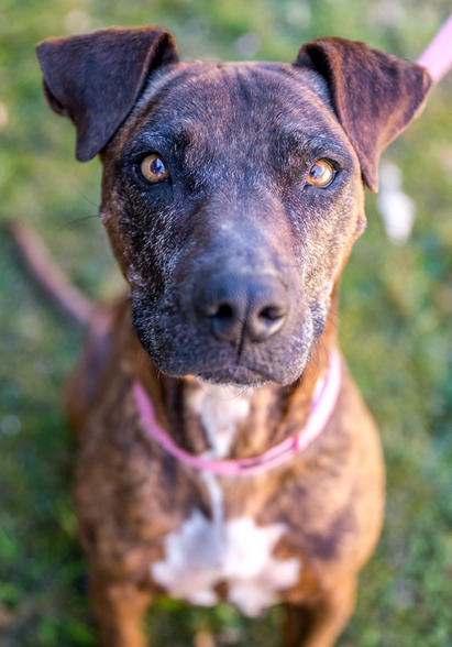 Shady the ten year old Staffy is waiting for her 'forever home.' Contact the Animal Welfare League NSW...