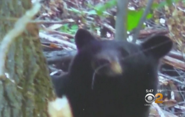 Bear attacks woman in Maryland