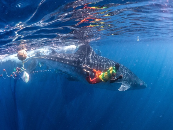 Whale sharks trapped in nets set free by divers