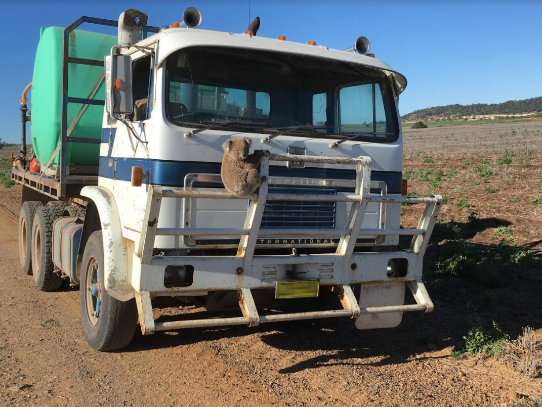 The happy ending to this story is that the driver drove several kilometres in reverse (so the koala would...