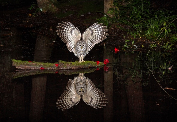 Stunning picture of owl checking out his reflection