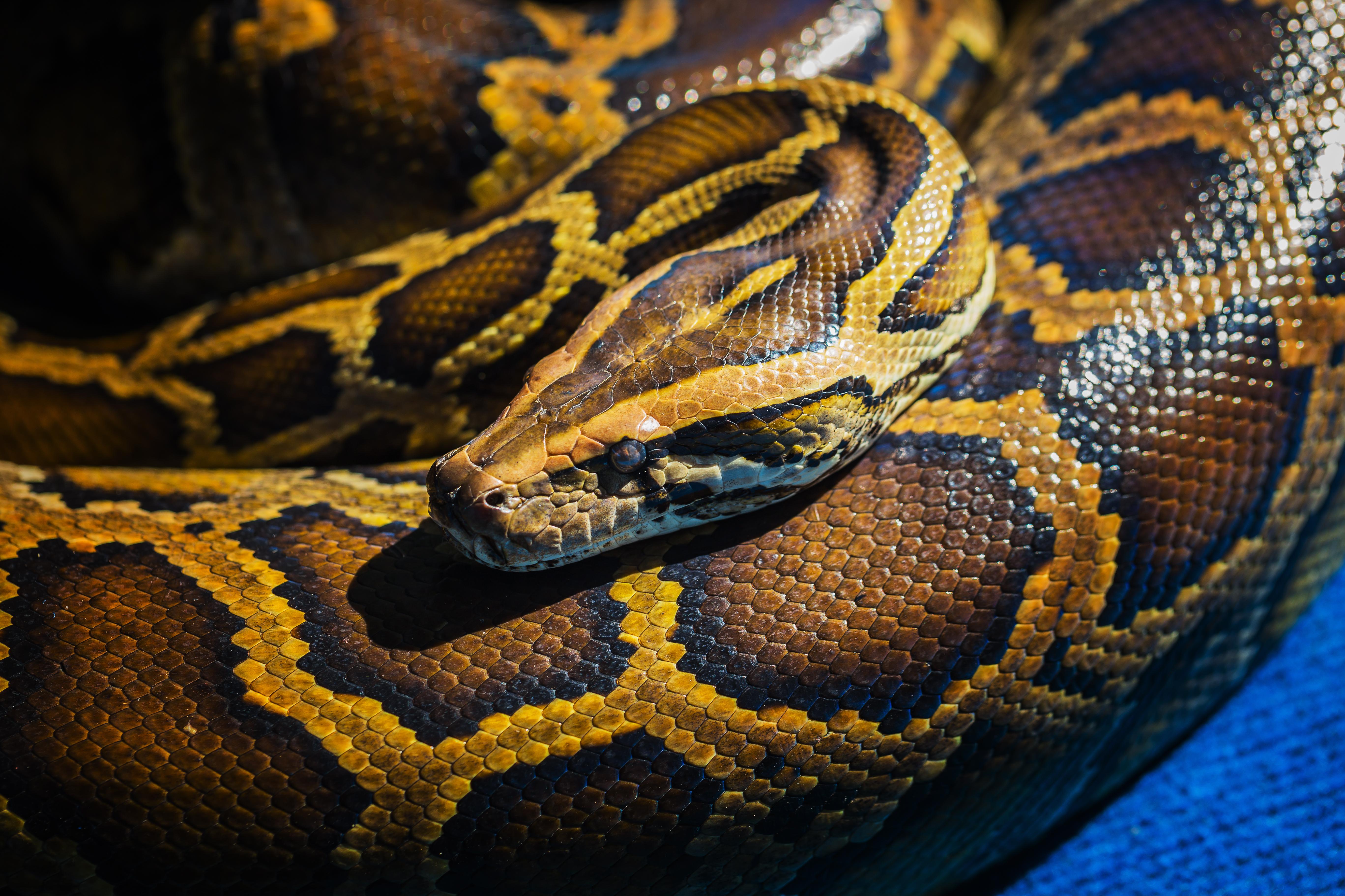 royal python  or ball python ...