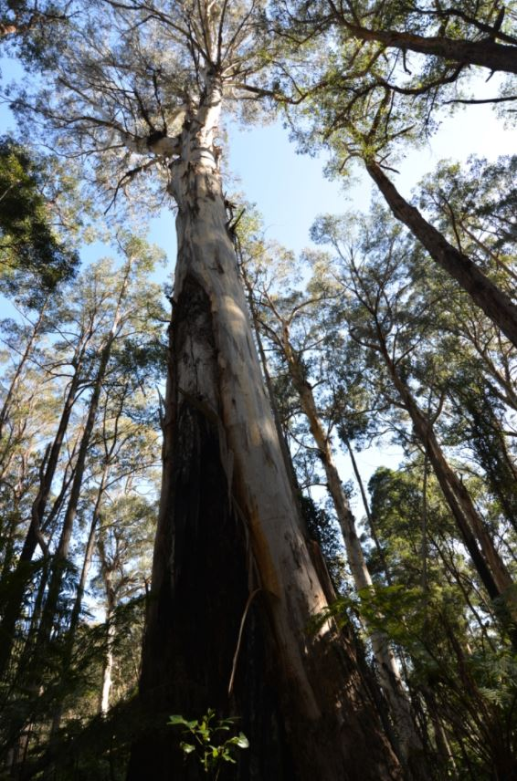 The Desperate Fight To Stop These 500-Year-Old Aussie Forest Giants Becoming Office