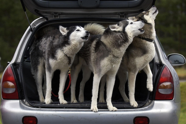 Three Huskies wait in a car for the start of a training day.