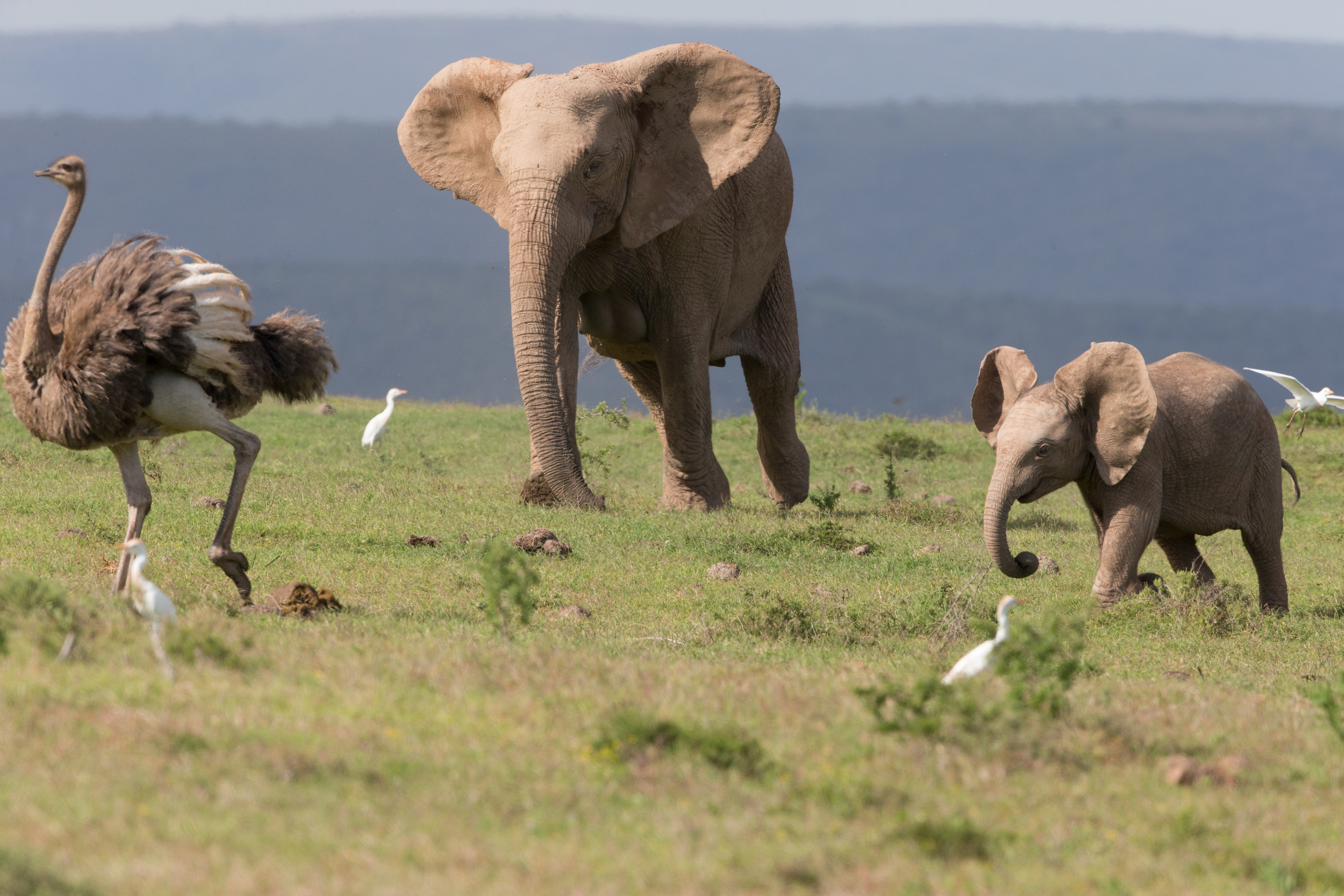 *** EXCLUSIVE *** ADDO ELEPHANT NATIONAL PARK SOUTH AFRICA - JUNE: The mother of a baby elephant tries to retrieve her offspring who is chasing an ostrich in June 2014, in Addo Elephant National Park, South Africa.A cute elephant calf chases an Ostrich in the Oddo Elephant National Park in South Africa. The herd of elephants were grazing when the youngster noticed the ostrich nearby and gave chase.PHOTOGRAPH BY Greatstock / Barcroft MediaUK Office, London.T +44 845 370 2233W www.barcroftmedia.comUSA Office, New York City.T +1 212 796 2458W www.barcroftusa.comIndian Office, Delhi.T +91 11 4053 2429W www.barcroftindia.com