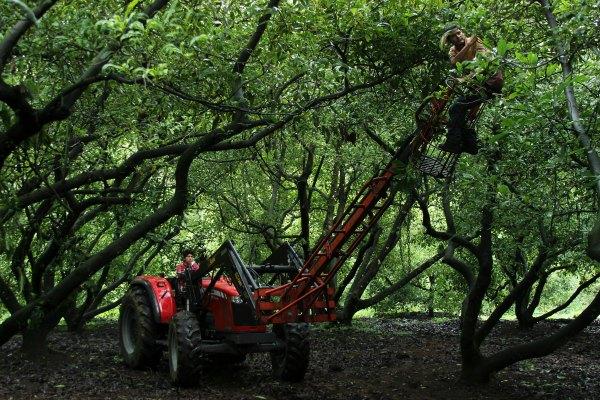 La ambición de los aguacateros está acabando con los bosques de