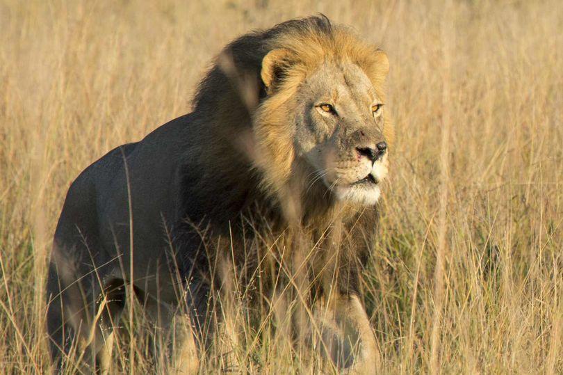 Cecil the lion's son was shot dead deliberately