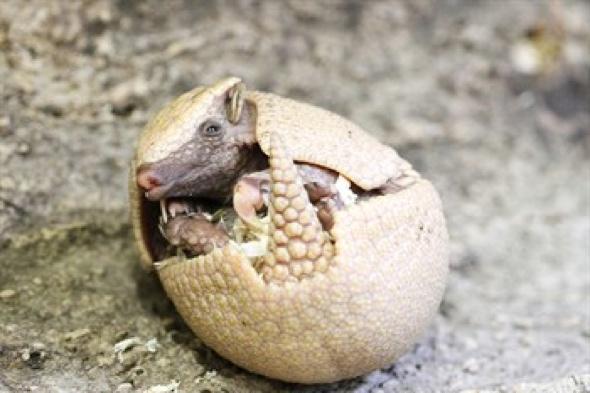Edinburgh Zoo introduces baby armadillo to the world