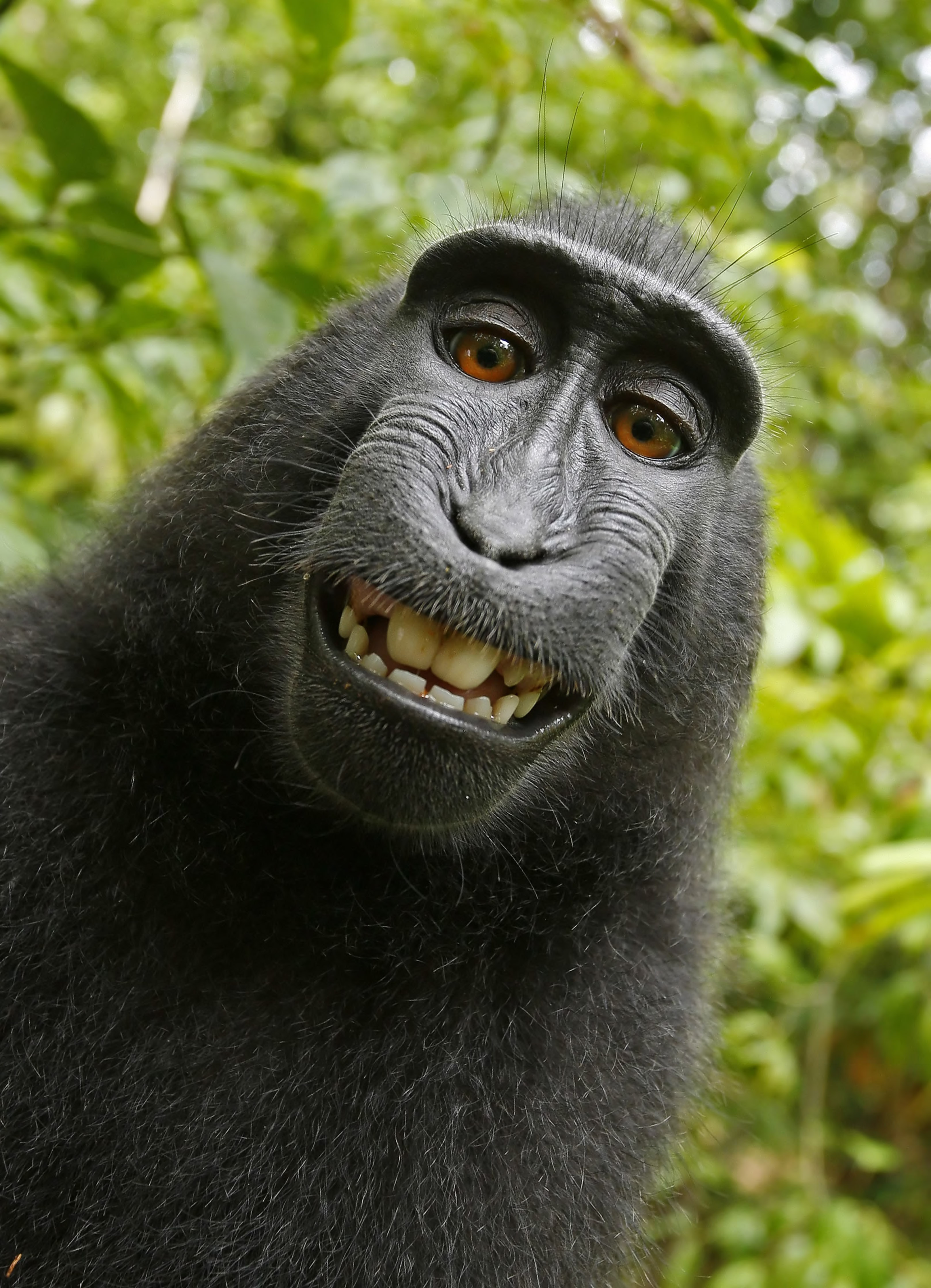 This 2011 photo provided by People for the Ethical Treatment of Animals (PETA) shows a selfie taken by a macaque monkey on the Indonesian island of Sulawesi with a camera that was positioned by British nature photographer David Slater. The photo is part of a court exhibit in a lawsuit filed by PETA in San Francisco on Tuesday, Sept. 22, 2015, which says that the monkey, and not Slater, should be declared the copyright owner of the photos. Slater has argued that, as the �intellect behind the photos,� he is the copyright owner since he set up the camera so that such a photo could be produced if a monkey approached it a pressed the button. (David Slater/Court exhibit provided by PETA via AP)