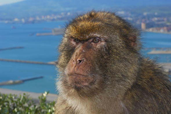 British tourist needed 40 stitches after Gibraltar ape attack