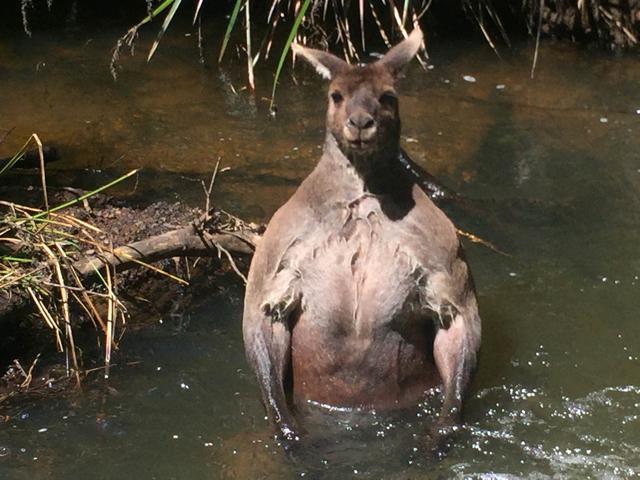 Bathing kangaroo has perfect beach body