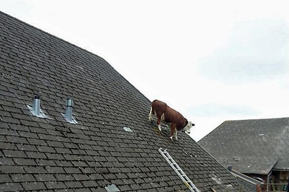 cow stuck on roof in switzerland