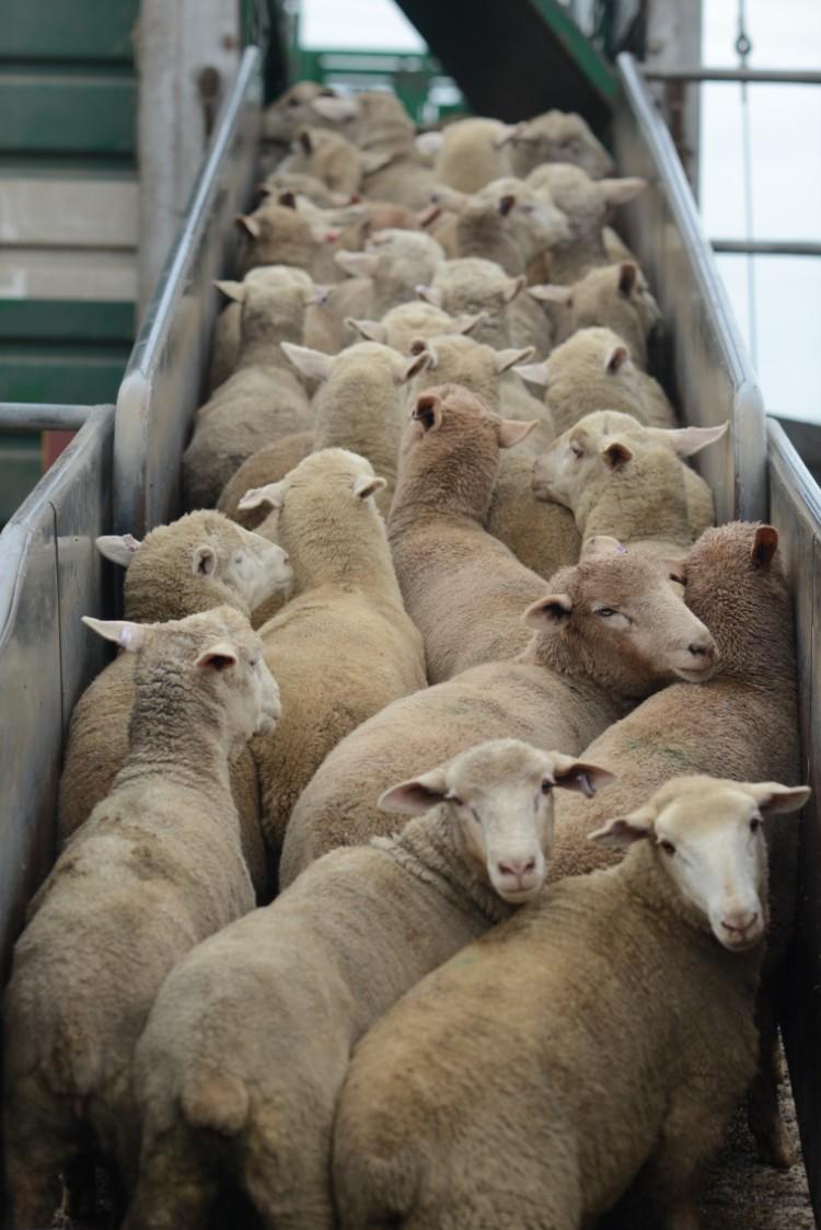 El transporte de animales vivos es equiparable al comercio de