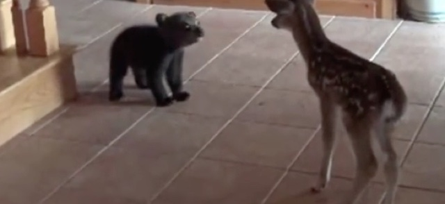 Rescued baby bear meets fawn for first time, hearts melt