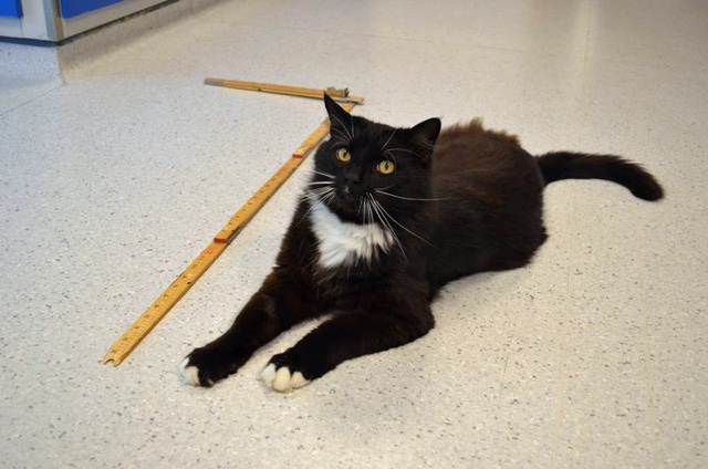 Huge cat named The BFC (Big Friendly Cat) needs a home