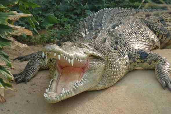 Fisherman kills huge crocodile that ate his pregnant wife