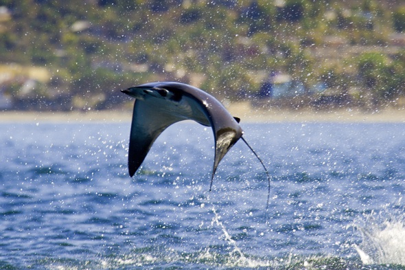 Flying mobula rays caught on camera in Mexico pictures