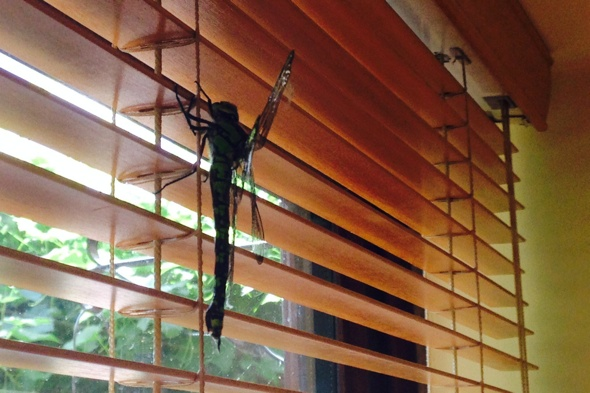 8-inch dragonfly found in Buckinghamshire